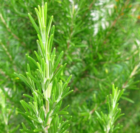 Rosemary Extract Antioxida