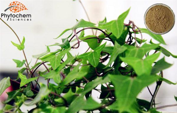 Ivy leaf extract powder