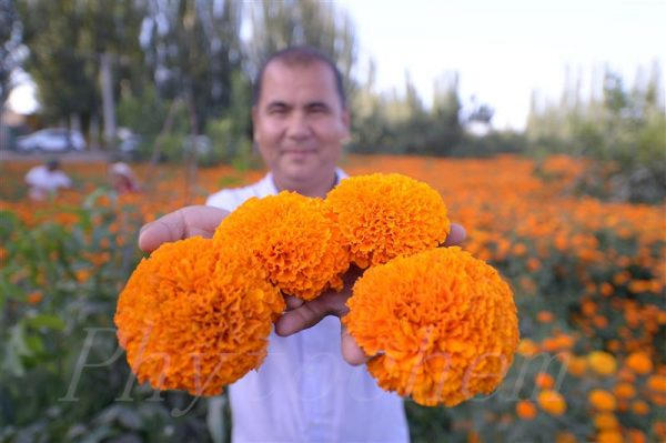 Marigold Extract Benefits