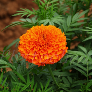 Marigold Extract For Eyes