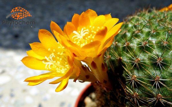 cacti flos