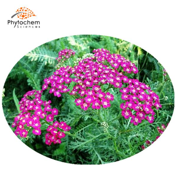 achillea millefolium extract benefits