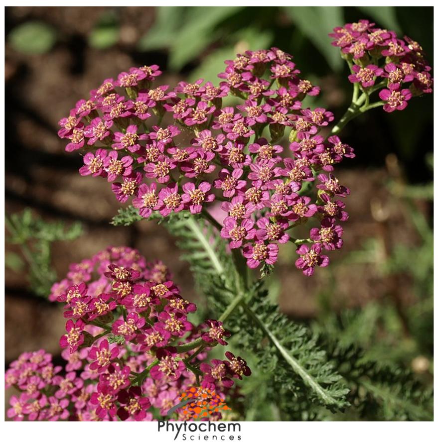 achillea millefolium extract supplement