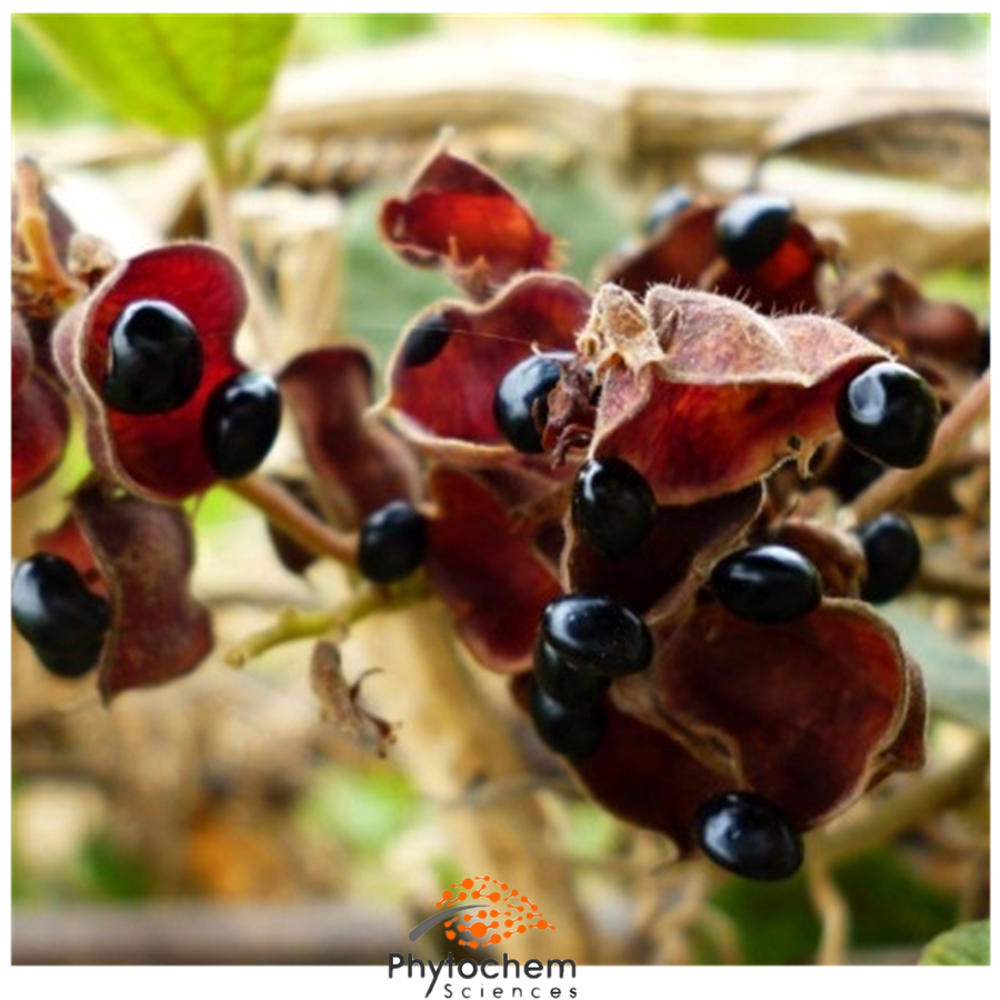 black bean hull extract supplement