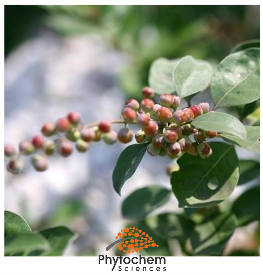 chasteberry extract benefits