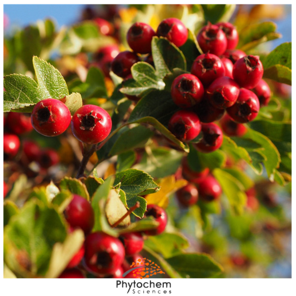 hawthorn leaf extract benefits