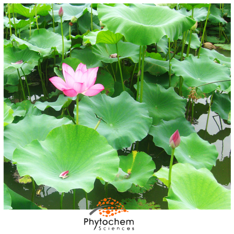 lotus leaf extract benefits