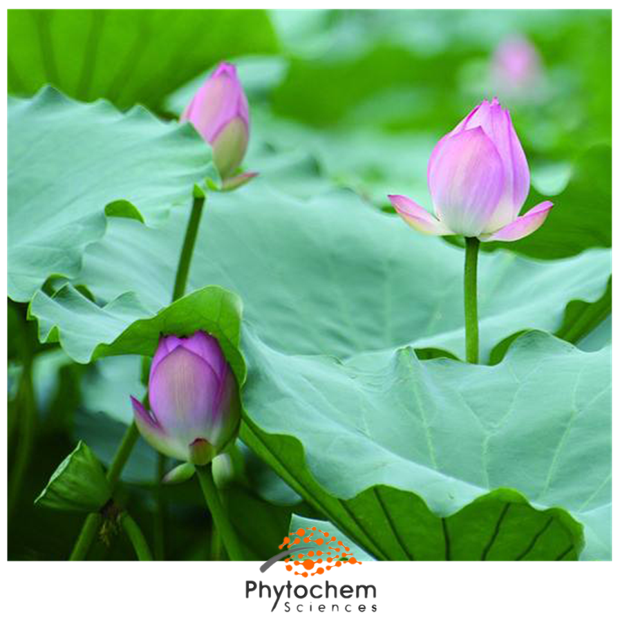 lotus leaf extract supplement